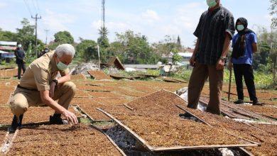 Photo of Asyik Jemur Tembakau, Petani Ini Kaget Didatangi Ganjar